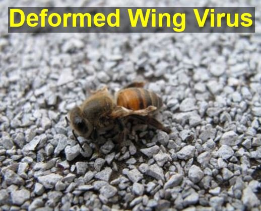 Deformed Wing Virus