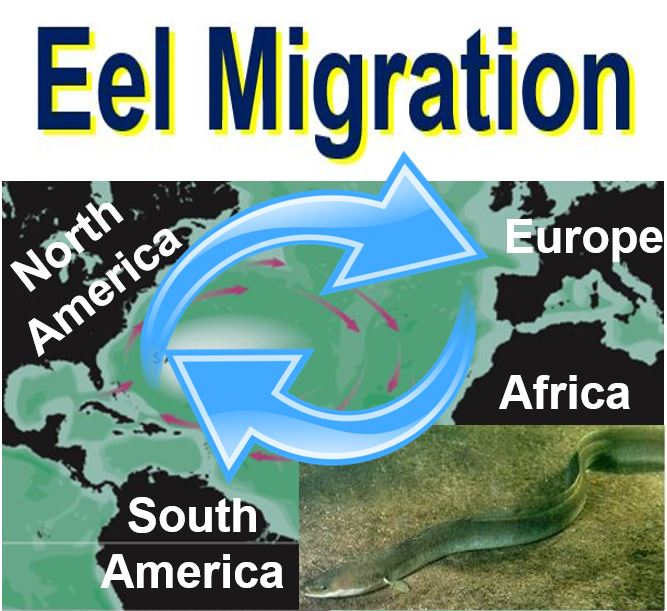 Eel Migration