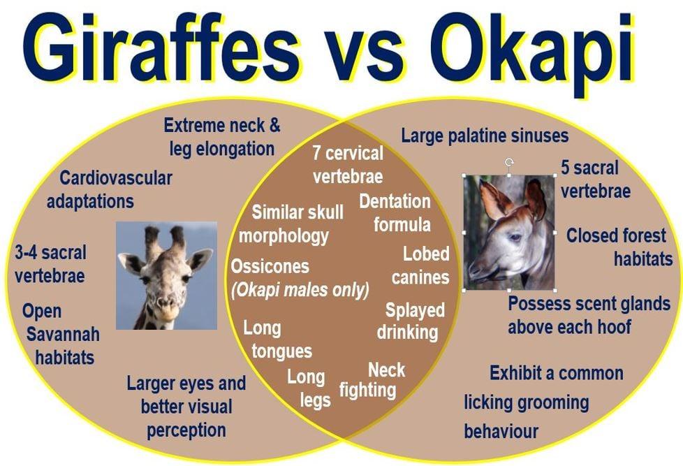 Giraffes Vs Okapi Market Business News