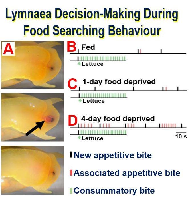 Lymnaea fresh snail appetite behaviour and decision making