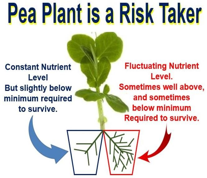Pea Plant is a risk taker