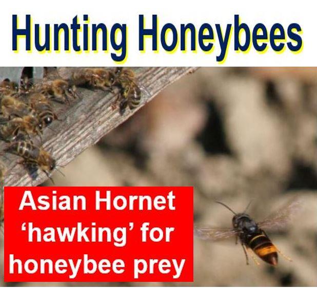 Asian Hornet Hunting Honeybees
