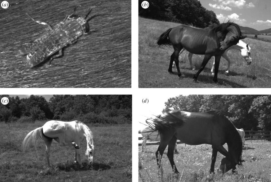 Why do white-haired horses get attacked less by horseflies?