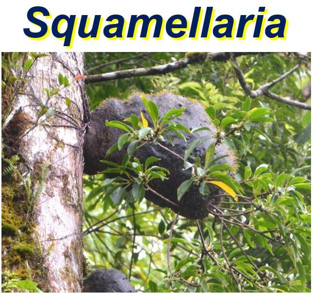 Squamellaria