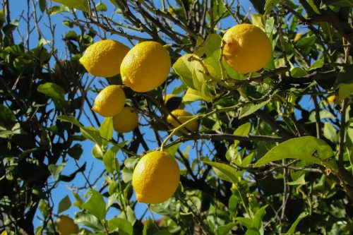 Sicilian mafia - lemon tree