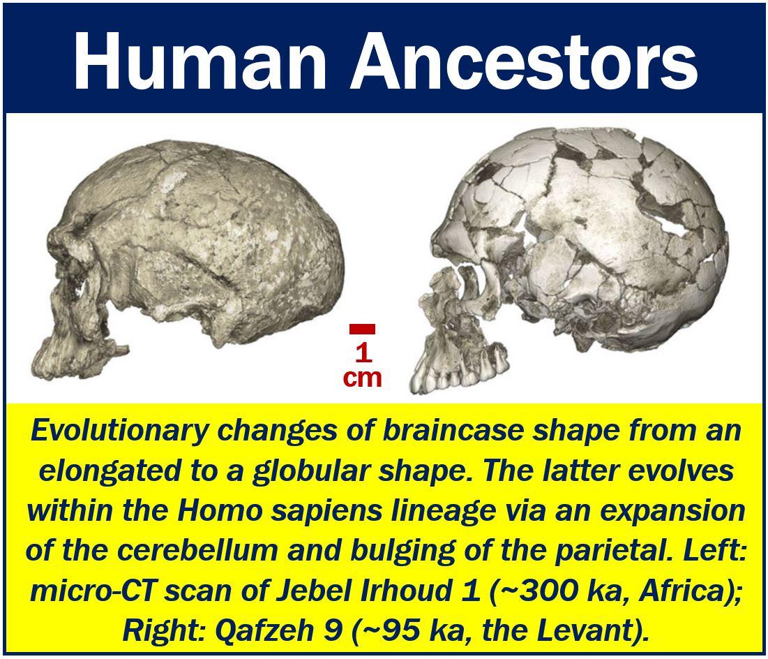 Human Ancestors - Two Skulls