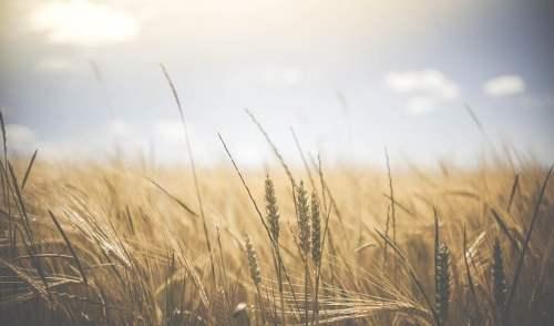 crops - wheatfield