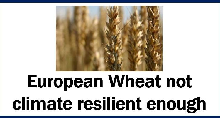 European Wheat thumbnail