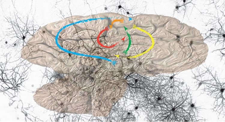 How brain learns image from UNIGE