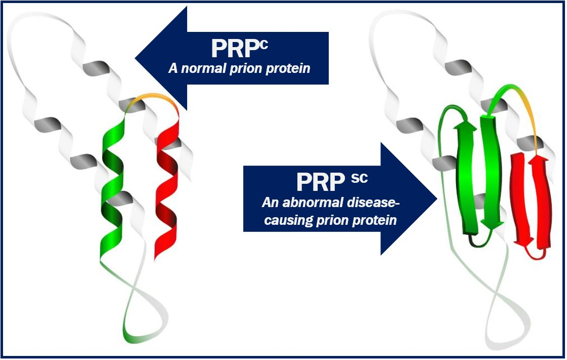 Normal and abnormal prion protein