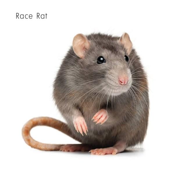 Race Rat