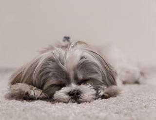 puppy-sleeping-carpet.png