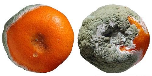Supuvę apelsinai - kai konkurencinė kova pasidaro neskani