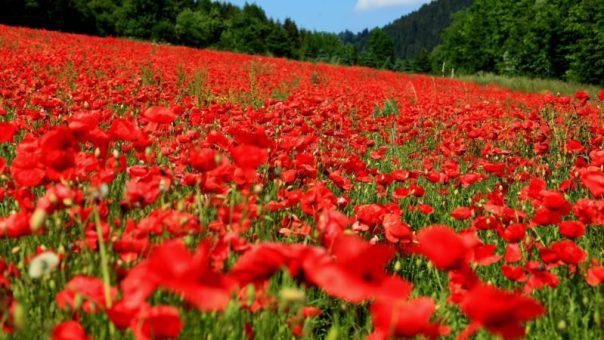 ss-poppies-field