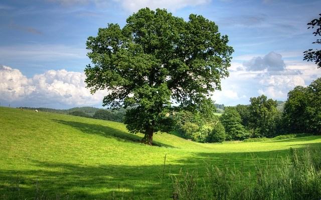 Manchester Airport oak tree