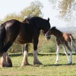 Robinsons Brewery welcome second foal from Shire Breeding Programme