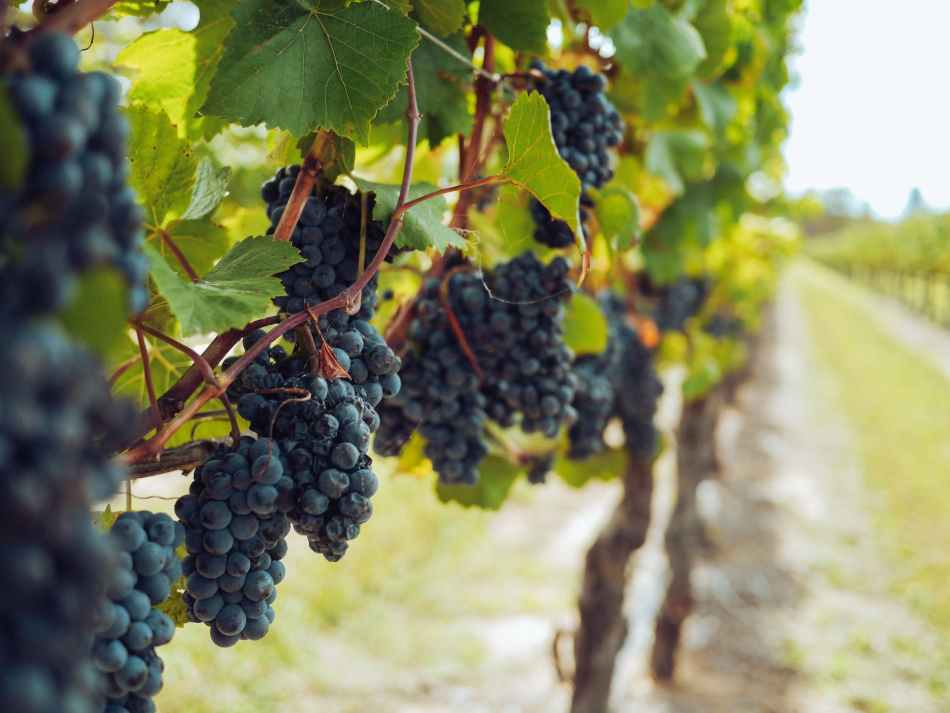 bunches of grapes hanging from vines - vinha