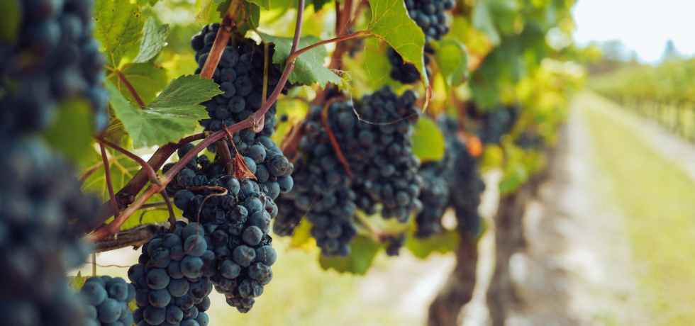 bunches of grapes hanging from vines