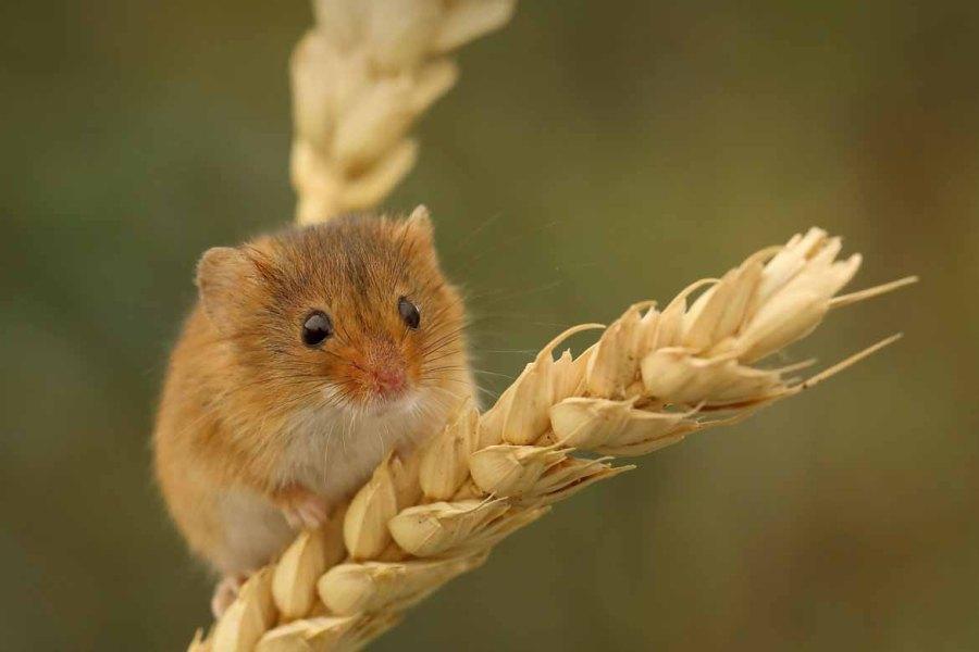 un topo che mangia del grano