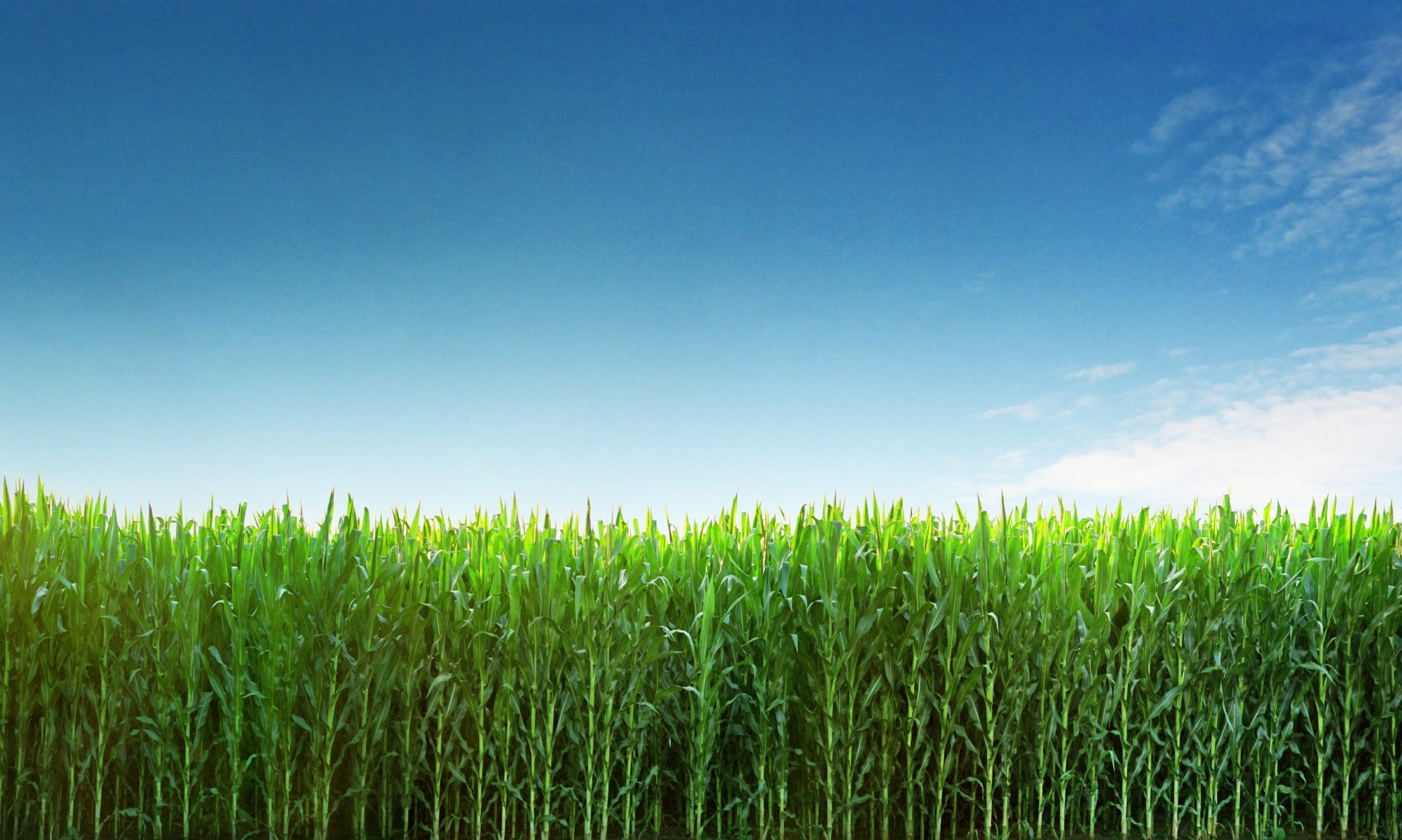 cropped-agriculture.corn_.field_.stalk_.jpg