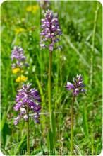 Knabenkraut - Orchideen