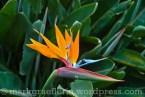 typisch Teneriffa: Paradiesblume