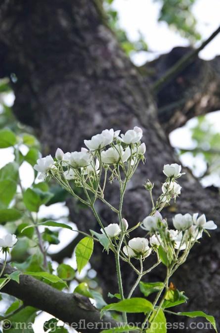 Rambler Blushing Bride im Apfelbaum