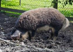 Wollschwein 10