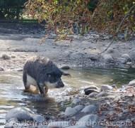 Wollschwein 12