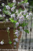 Hängender Thymian / Hanging Thyme