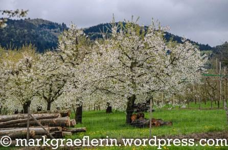 2016_Kirschbluete Markgraeflerland 04_17_15