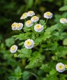 Mutterkraut (Chrysanthemum parthenium)