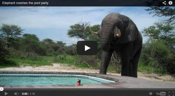 An elephant gatecrashes a pool party