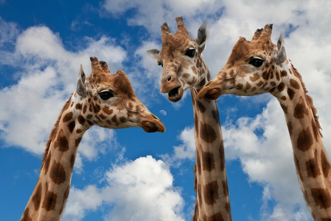 Giraffes chatting