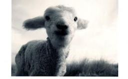 black_and_white_lamb