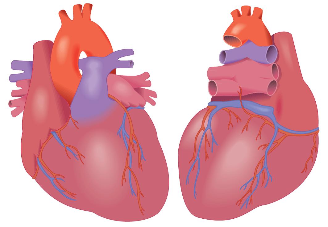 Hearts (Illustrator)