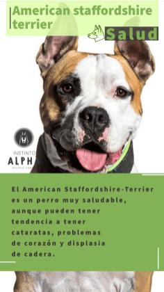 American Staffordshire La Salud