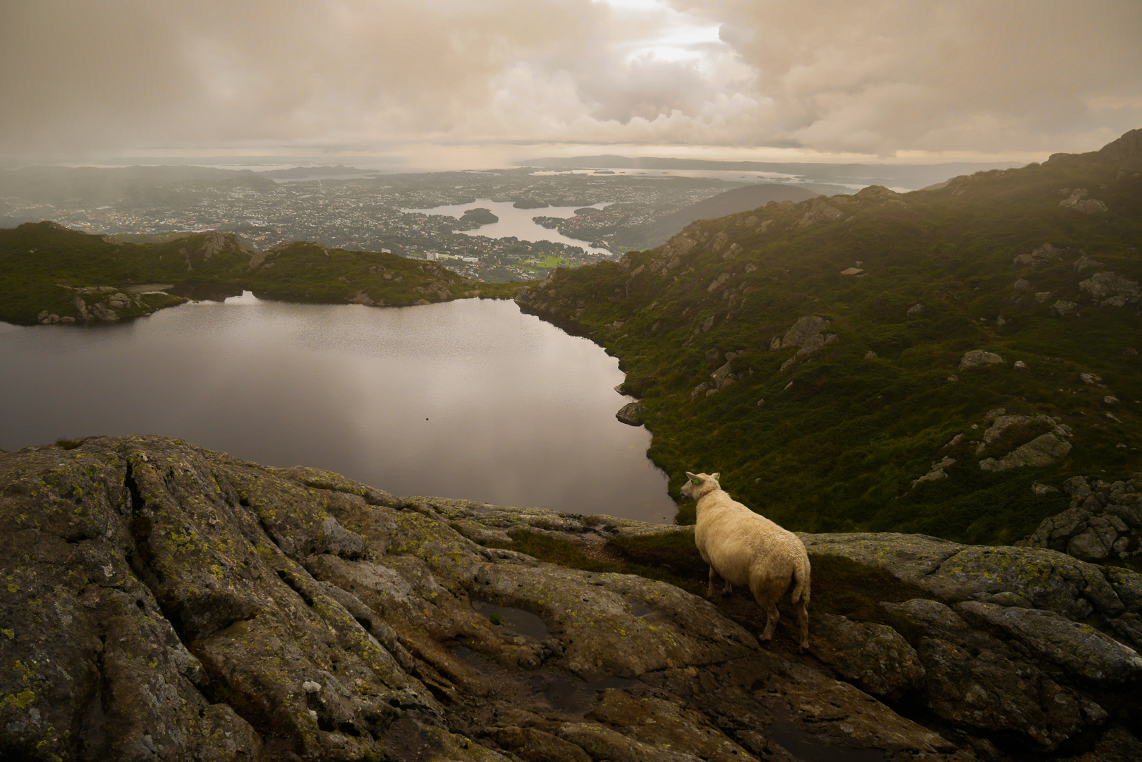 NORWAY, Bergen – A sheep is looking at the landscape. © Marko K