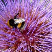 Photo of a bumble bee on a purple flower