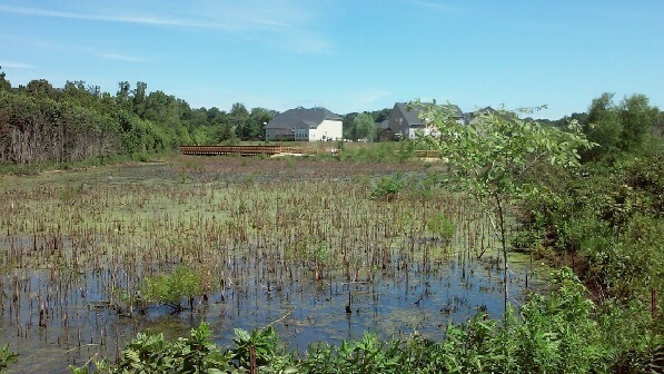 Here is wetlands along the new section of the Hector Henry Greenway