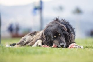 Lose Fat raw feeding food diet for dogs