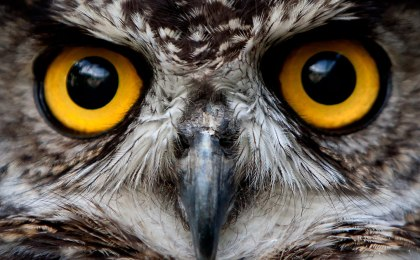 close up of owls face