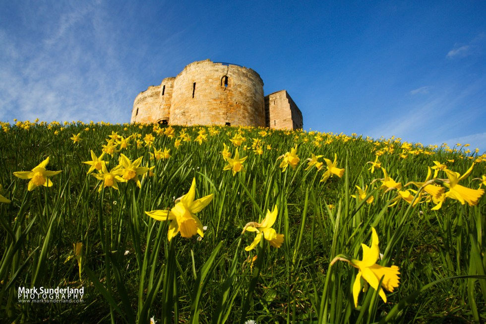 Spring Daffodils at Clifford's Tower, York