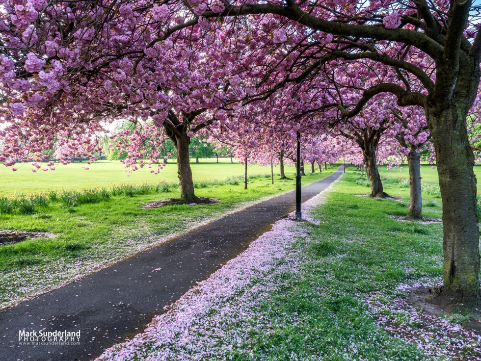 Path through Cherry Blossom in Spring on The Stray at Harrogate, North Yorkshire