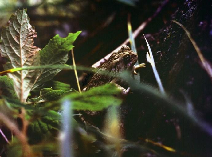 Frog In Leaves, 1974
