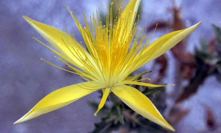 Southern California wildflower ---- December 1977 --- photo by Mark Weber