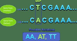 MTHFR, MTHFR SNP, SNP, polymorphism, Gene