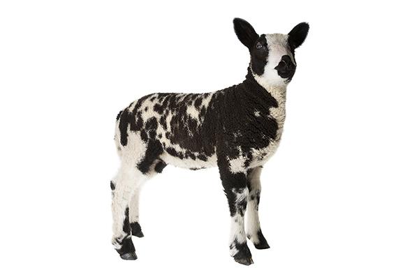 Nederlands bonte schaap