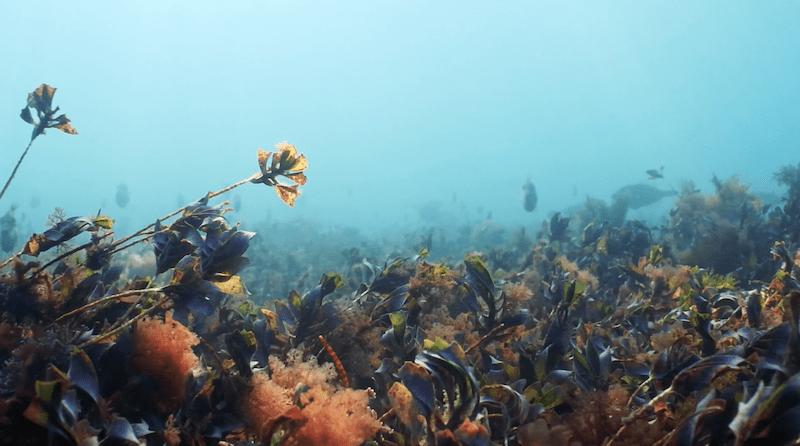 Wild Swimming Mornington Peninsula Great Southern Reef Leatherjackets
