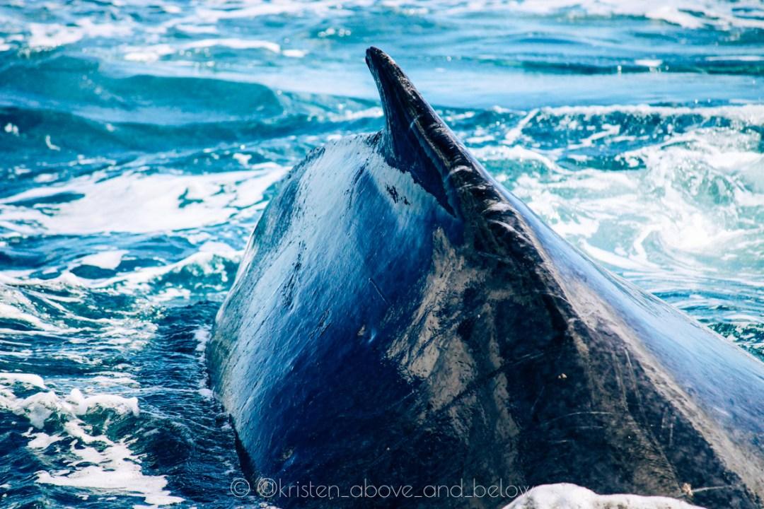 Humpback Whale Back Close Up Hervey Bay by Kristen MacDonald